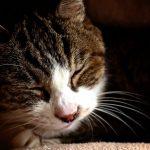 猫の肝臓病の治療で平均寿命が延びます!